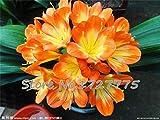 Piante Clivia Fascio Piante Piante di Orchidee Coperta 10seeds Piante Bonsai/Lotto: Rosso