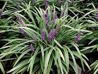 Classy Groundcovers, Lily Turf 'Variegated' Lilyturf, Border Grass, Monkey Grass (25 Pots, 3 1/2 inches Square)