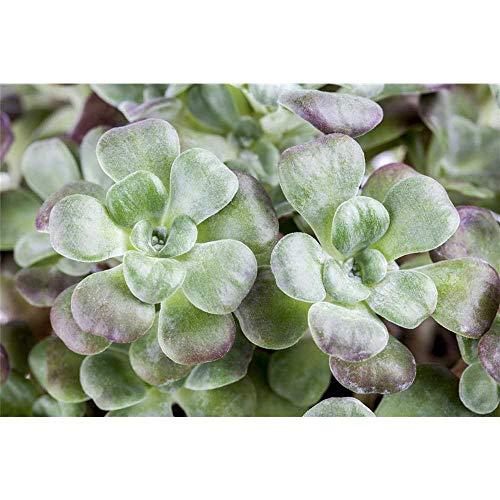 Sedum spathulifolium 'Purpureum' - Spatelblättriges Garten-Fettblatt 'Purpureum' - 9cm Topf