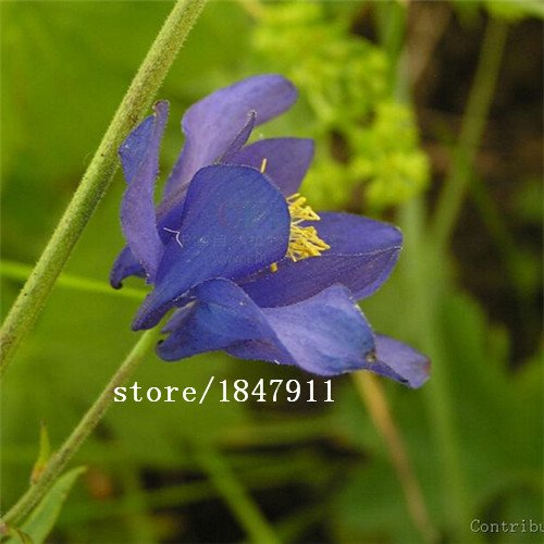 Big vente original Paquet 100 Graines / Paquet, graines de Columbine, graines Aquilegia, fleurs colorées Family Garden Bonsai Plante