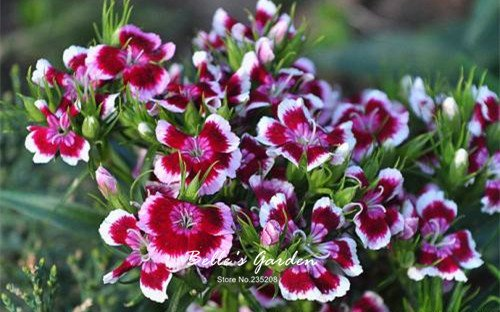 100pcs multi-couleurs Variété Verveine Graines Hardy Plantes Graines de fleurs exotiques Fleurs ornementales Graines Bonsai 04