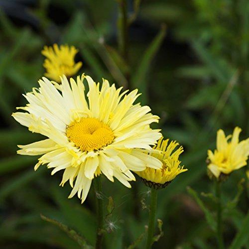 Blumixx Stauden Chrysanthemum maximum 'Goldfinch' - Gelbe Gartenmargerite gelb