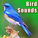 Constant Bird Calling from Mallard Duck