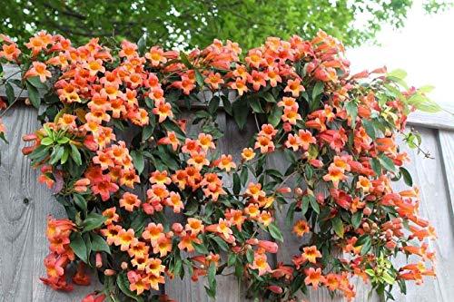 Portal Cool Orange Trompete-Rebe - Amerikanische Klettertrompete (50 Samen) Tropic Perennial Klettern!