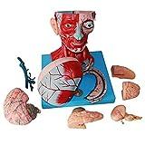XIAOLINGTONG Modelo Anatómico Modelo De Cerebro Humano Modelo Anatómico Humano De Media Cabeza Modelo De Vasos Sanguíneos Nerviosos para Estudiantes De Medicina Curso De Estudio De Anatomía Humana