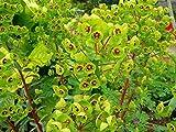 Euphorbia x martinii Plant in 17cm Pot