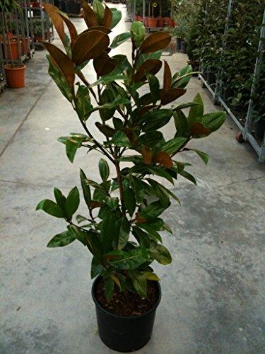 Magnolia grandiflora Galissonière hauteur 80-100 cm