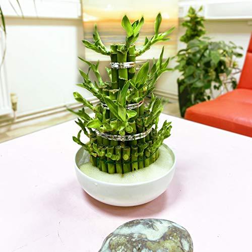 1 GRANDE Tour Lucky Bamboo en pot de céramique couleur aléatoire