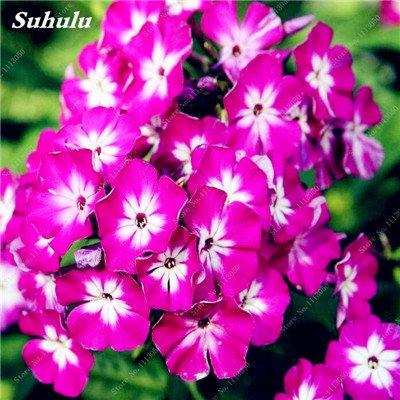 150 Pcs Nerium Graines Oleander plantes en pot semencier japonais Jardin Décoration Bloom Graine Facile à cultiver purifient l'air 4