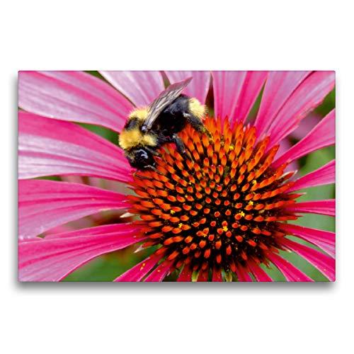 Premium Textil-Leinwand 75 x 50 cm Quer-Format Hummel auf Echinacea | Wandbild, HD-Bild auf Keilrahmen, Fertigbild auf hochwertigem Vlies, Leinwanddruck von Dagmar Laimgruber