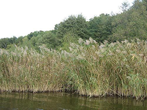 Schilfrohr -Phragmites australis- 20 Samen -Uferpflanze,Sumpfpflanze- Bis zu 4 Meter Hoch