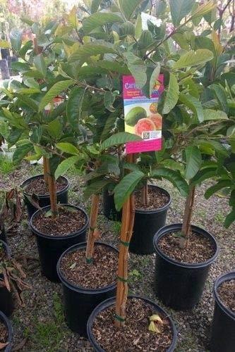"""FERRY Bio-Saatgut Nicht nur Pflanzen: Size 20 """"-25"""" Pink Guave rot Guave aus einem 100 Seeds Glon"""