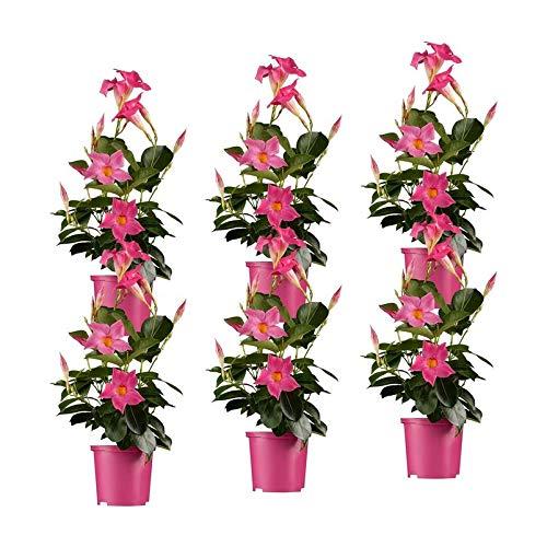 Pflanzen Kölle Dipladenie, 6er-Set, rosa, Topf 10,5 cm Ø