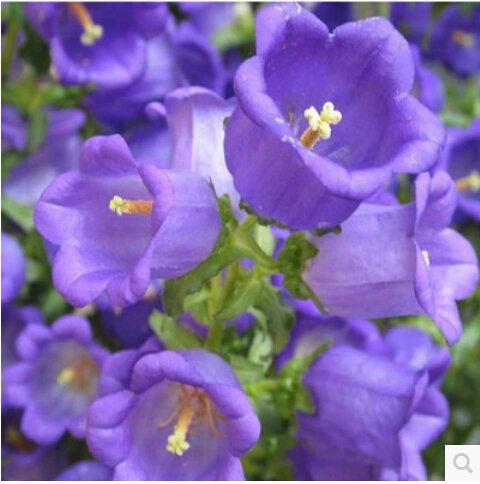 100 pcs / sac, graines Campanula, graines en pot, graines de fleurs, variété complète, le taux de 95% en herbe, (couleurs mélangées)