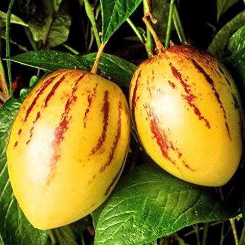 Frucht Samen, SummerRio 20pcs Melonenbirne Pepino Solanum Muricatum Seed Melone Saatgut Obst Bonsai (Melonenbirne)