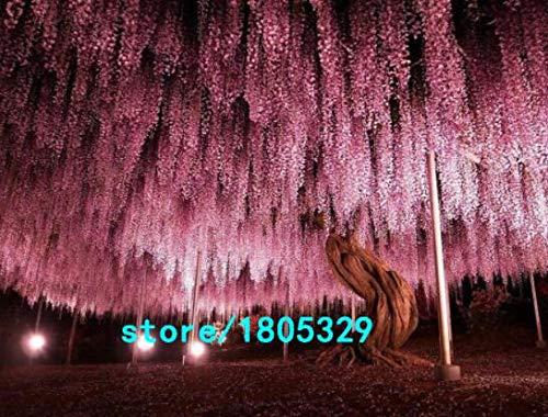 Bloom Green Co. Vente chaude Rare Violet Wisteria Graines de fleurs pour la maison et bricolage amp; plante de jardin Wisteria sinensis (SIMS) semences Sweet 10PCS: 6