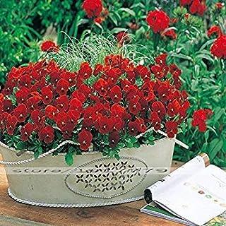 Potseed Semillas Semillas de jardín Raras Euphorbia Milii Flor de Escalada Bulbos perenne Planta de la decoración al Aire Libre Flores 100PCS