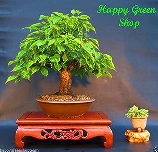 CHERRY LAUREL - 12 seeds - Prunus laurocerasus Bonsai shrub English Laurel