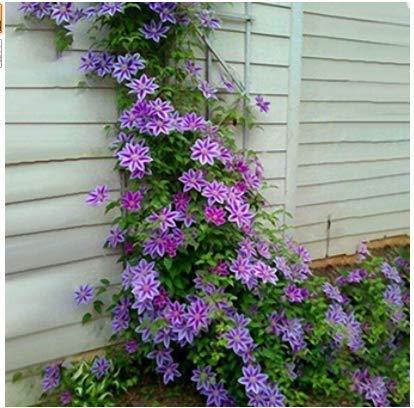 Beautytalk-Garten 50 Clematis Mischung Kletterpflanzen clematis Blumen immergrün winterhart mehrjährig Blumen Samen Climbing Clematis bis zu 17 Meter