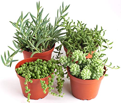 Shop Succulents | Hanging Live Succulent Plants, Hand Selected Pearls, Bananas, String of Fishhooks & Burrito Sedum Variety in 4' Grow Pots | Collection of 4, 4 inch