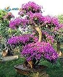 50 Semi / Pac ktop vendita colori sgargianti delle bouganville Spectabilis Willd Semi di bonsai Fiore pianta perenne Bougainvillea Seme