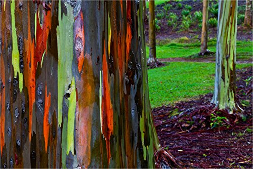 Best rainbow eucalyptus tree sapling for 2020