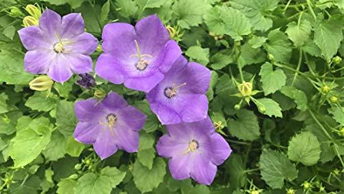 Campanula carpatica Blue Clips 25 Stück Bodendecker, Staude T9x9 316601