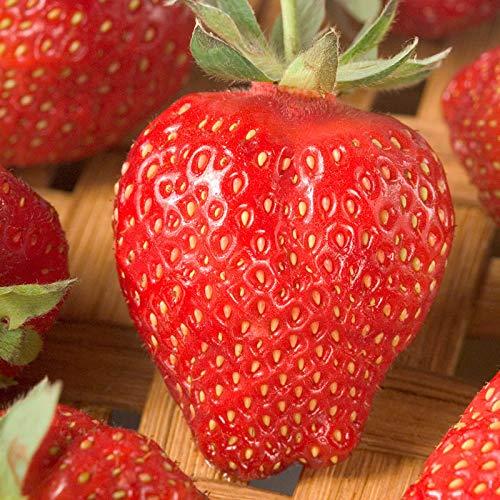 ! Nouvelles Graines 2015 fraises géantes graines de fraises sucrées quatre saisons, Rare, Fragrant, Sweet & Juicy - 200 semences / Lot, # JQMML6