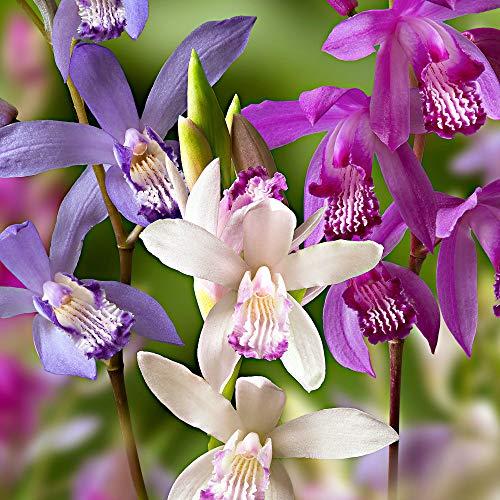 3x Bletilla striata | Orchideen Blumenzwiebeln Winterhart | Sommerblüher Mischung | Garten und Balkon