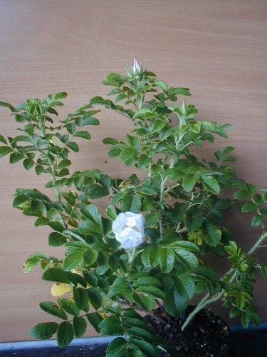 Hagebutte Rosa rugosa Alba 40 cm hoch im 3 Liter Pflanzcontainer