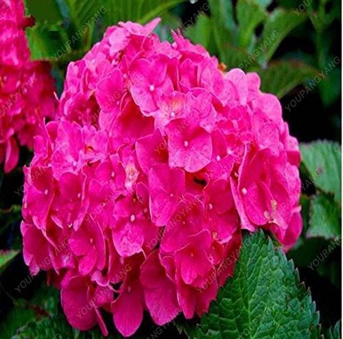 20pcs / pack Red Hydrangea mélange de graines Hydrangea Fleurs Accueil Plante des graines de fleurs Bonsai Viburnum pour le jardin à la maison noire