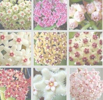 100pcs/sac Vente Hot arc Hoya Rare Graines Outdoor Blooming Bonsai plantes en pot de fleurs Maison et Jardin Livraison gratuite 3