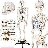 Anatomical Skeleton Model