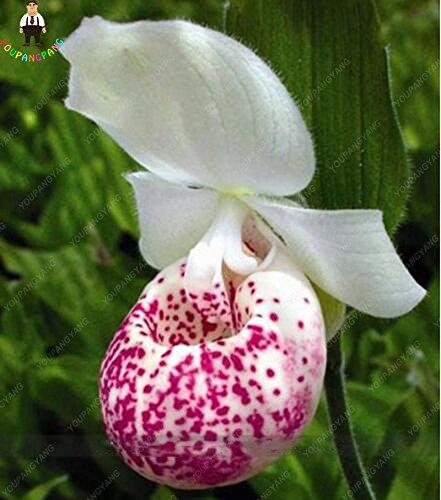 100pcs 20 types d'orchidées Graines vivaces Fleurs Plantes ornementales en pot Bansai Semences pour balcon et cour plante Diy jardin Noir