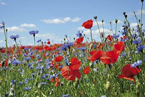 1art1 Blumen - Wildblumen-Wiese Mit Mohn- Und Kornblumen Selbstklebende Fototapete Poster-Tapete 180 x 120 cm