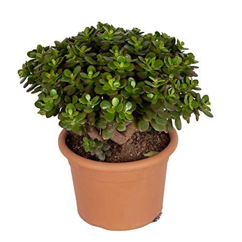 Zimmerpflanze von Botanicly – Geldbaum – Höhe: 40 cm – Crassula Minor Canarias