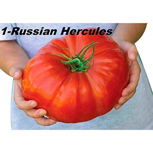 Beautytalk-Garten 100pcs Riesen Tomatensamen Gemüse Bio Heirloom ertragreich mehrjährig winterhart für Garten Balkon/Terrasse