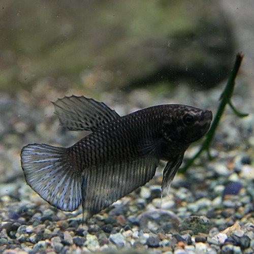 (熱帯魚)ベタ プラガット スーパーブラック メス(約2-3cm)<1匹>[生体]