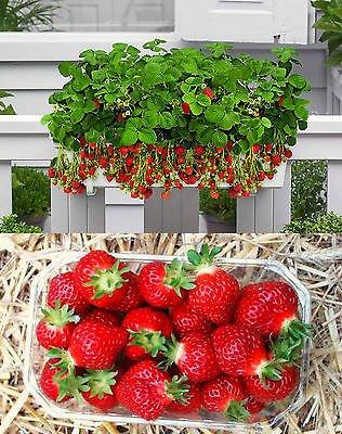 100pcs 2016 Nouveaux rares 10 Couleurs Super Sweet Seeds géant Strawberry pot semences fleurs Berry Graines de fruits