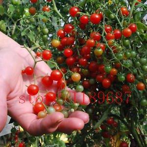 200 graines de tomates mini Rare Escalade graines de tomate, \