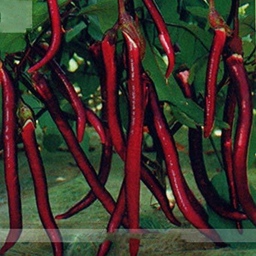 (Rouge long * Ambizu *) Hangzhou rouge à long Aubergine F1 Graines de légumes, Al Pack, 200 graines