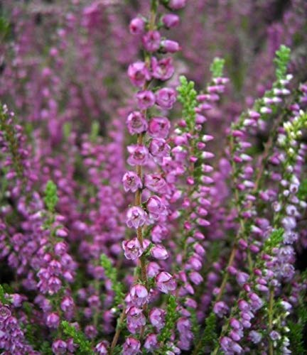 Calluna vulgaris Carmen - Sommerheide Carmen - Besenheide - purpurrote Blüte - Stückzahl Rabatt 5er-Paket