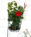 Pianta Dipladenia Rossa, Altezza 30cm