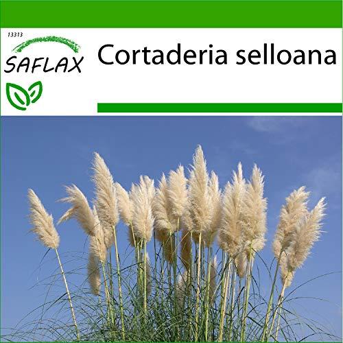 SAFLAX - Gräser-Bambus-Amerikanisches Pampasgras - 200 Samen - Mit keimfreiem Anzuchtsubstrat - Cortaderia selloana