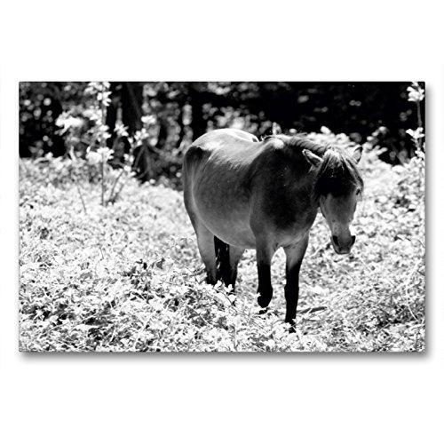 CALVENDO Premium Textil-Leinwand 90 x 60 cm Quer-Format Exmoor Pony Stute, Leinwanddruck von Meike Bölts