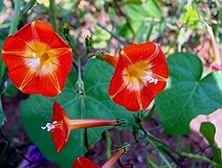 Very Rare Orange NOAH Morning Glory Vine Seeds! Hummingbirds Love IT!Comb.S/H