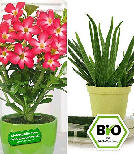 BALDUR-Garten Aloe vera & Wüstenrose rot, 2 Pflanzen Zimmerpflanzen