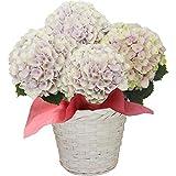 ハッピーガーデン 母の日 鉢植え ギフト 母の日のアジサイ 4号鉢 5 マジカルレボリューション