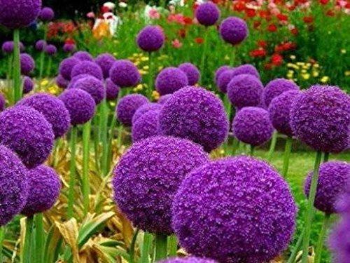 100 Purple Giant Allium Giganteum Belle graine de fleurs Plant de jardin le taux en herbe 95% fleur rare pour enfant