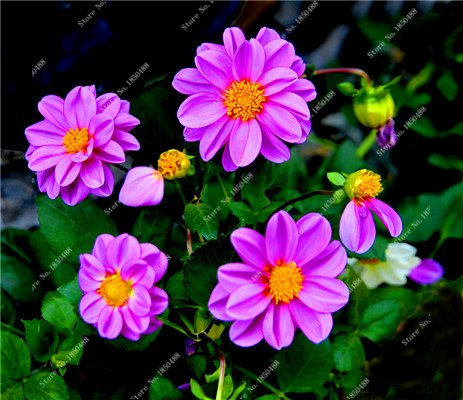 Double Dahlia Seed Mini Mary Fleurs Graines Bonsai Plante en pot bricolage jardin odorant fleur, croissance naturelle de haute qualité 50 Pcs 9
